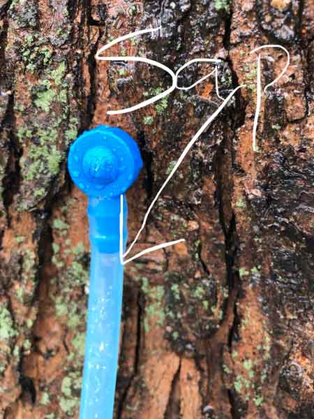 first maple tree sap of the year