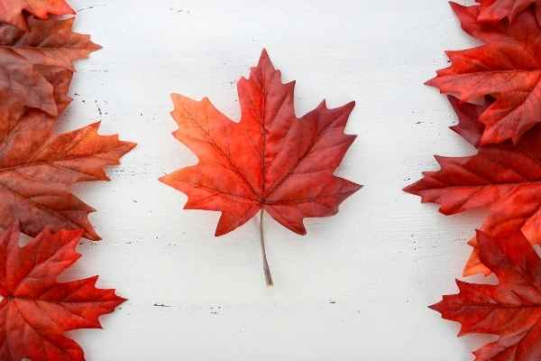 red leaves from maple tree
