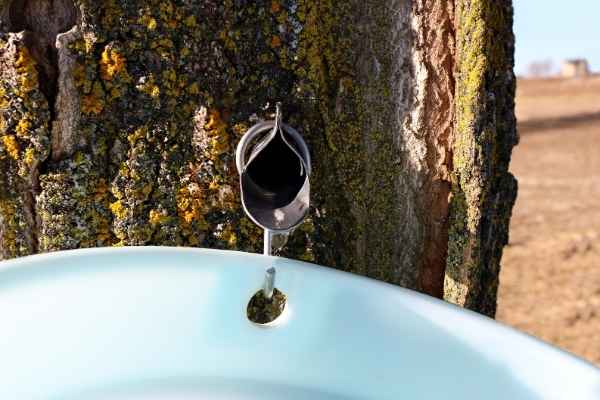 maple tree tap and bucket
