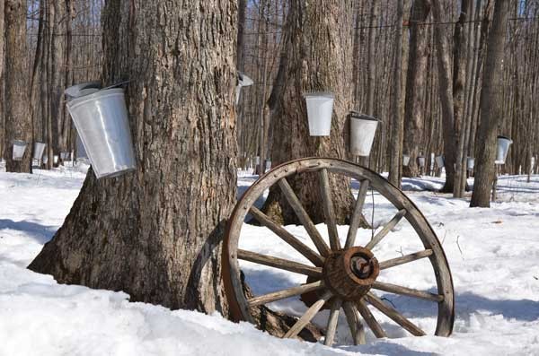 maple syrup taps