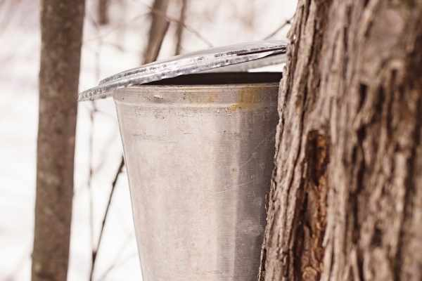 aluminum bucket for collecting sap to make maple syrup