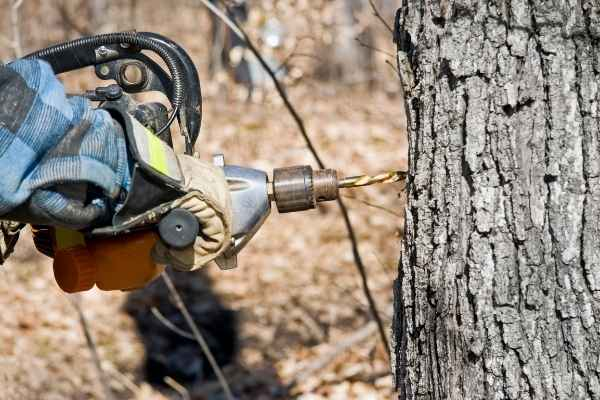 Drilling a maple tree before inserting the tap