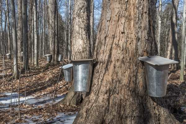 line of maple syrup buckets on trees
