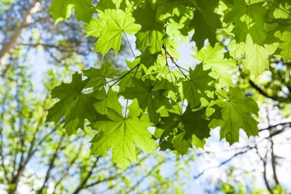 iconic green maple tree leaved