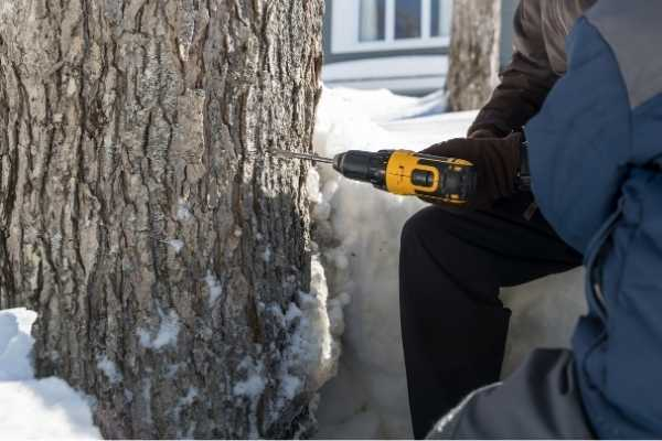 two people tapping a maple tree using a drill